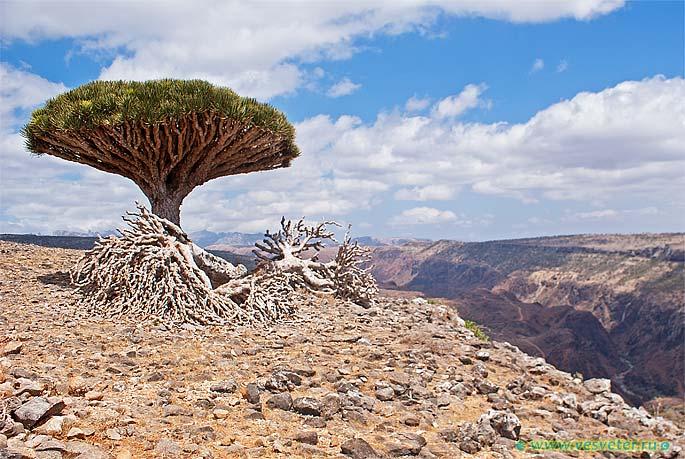 Йемен, остров Сокотра. Драконово дерево