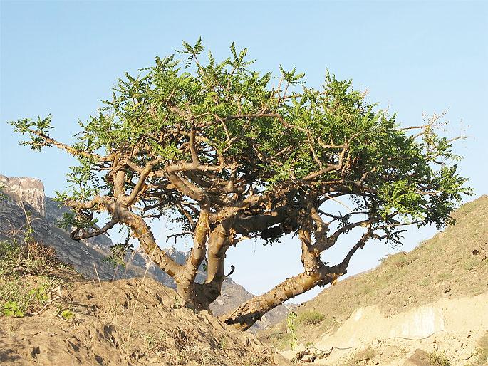 Йемен, остров Сокотра. Ладанное дерево