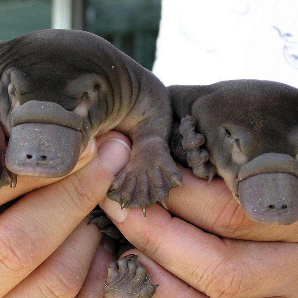 an introduction to the rem sleep of the animal platypus