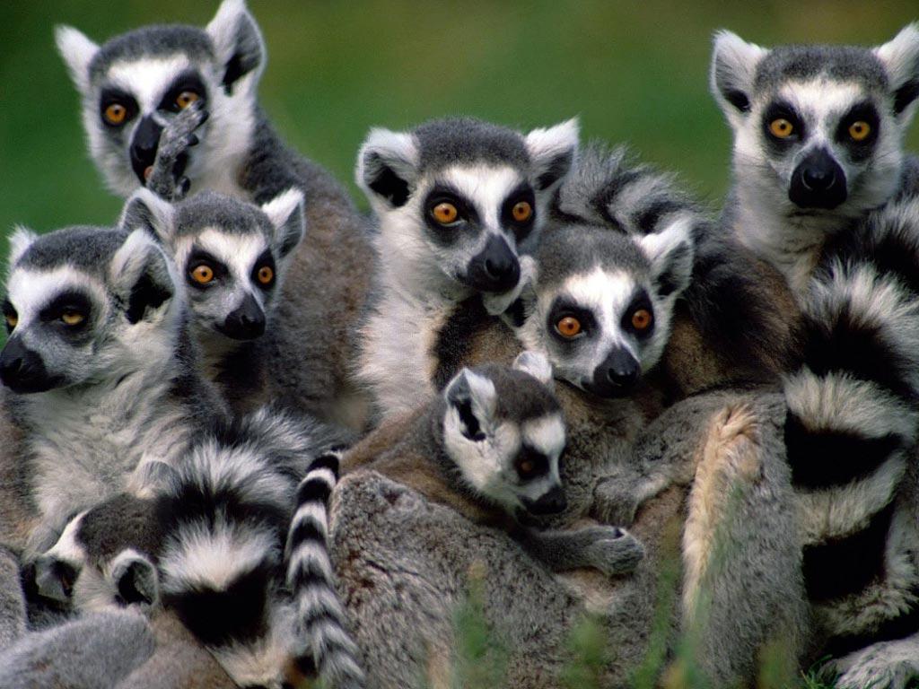 Лемуры Мадагаскара