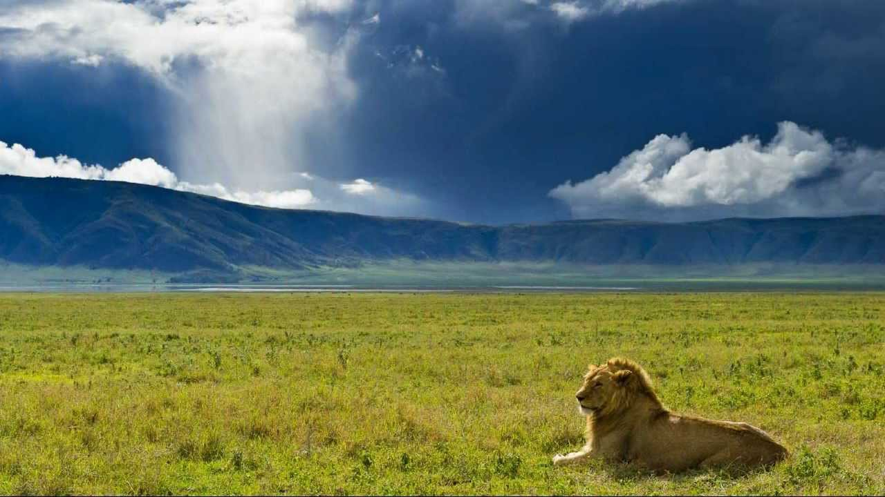 Лев в Нгоронгоро