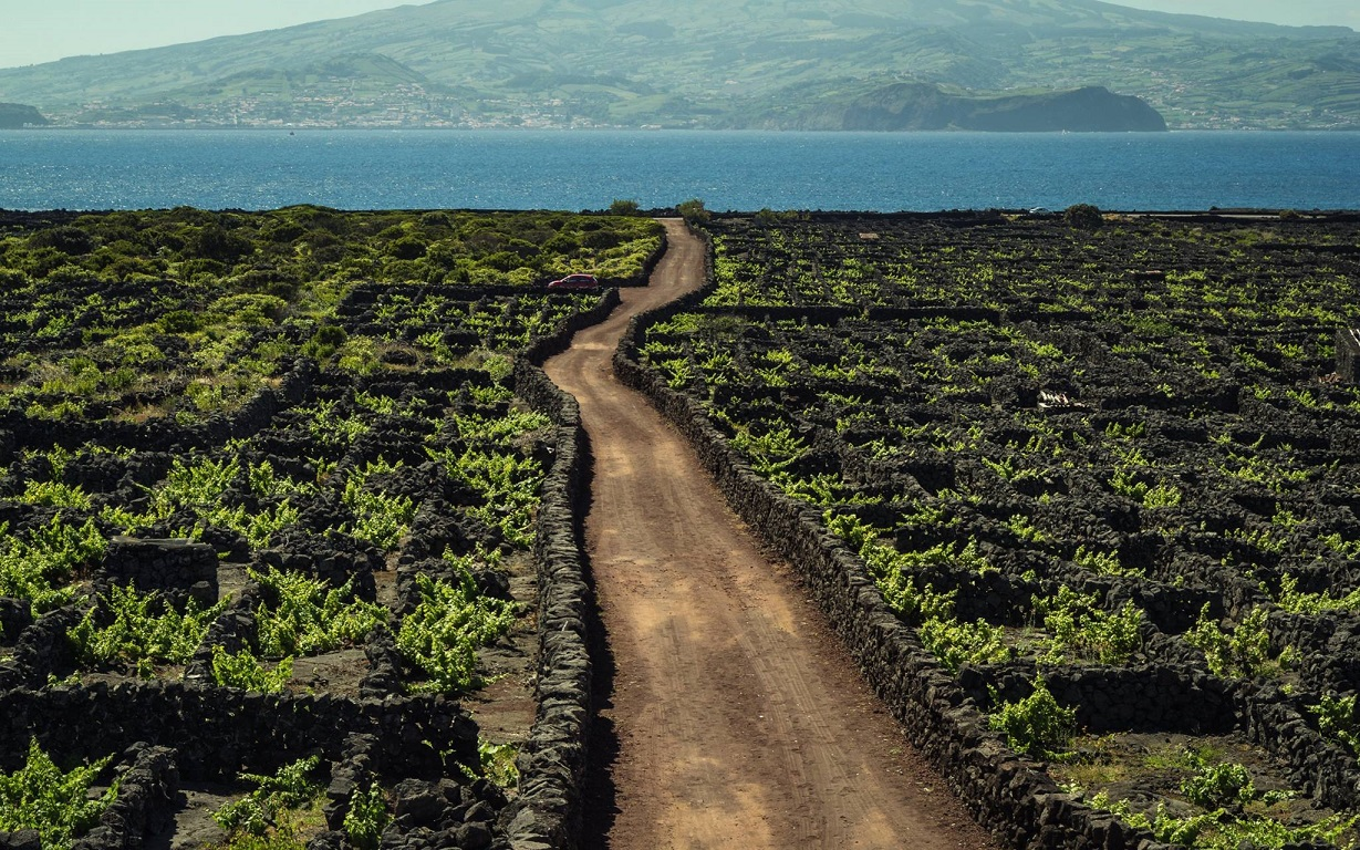 azores pico vineyards