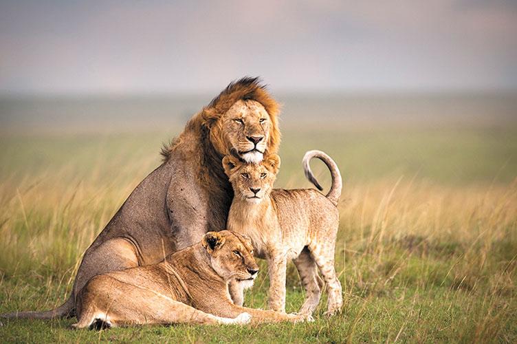Львы в Масаи-Мара