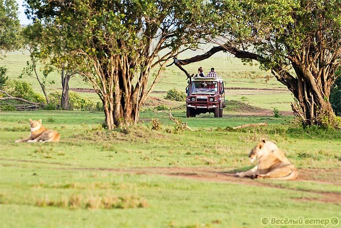 Фото Кении. Львы на дороге в Масаи Мара