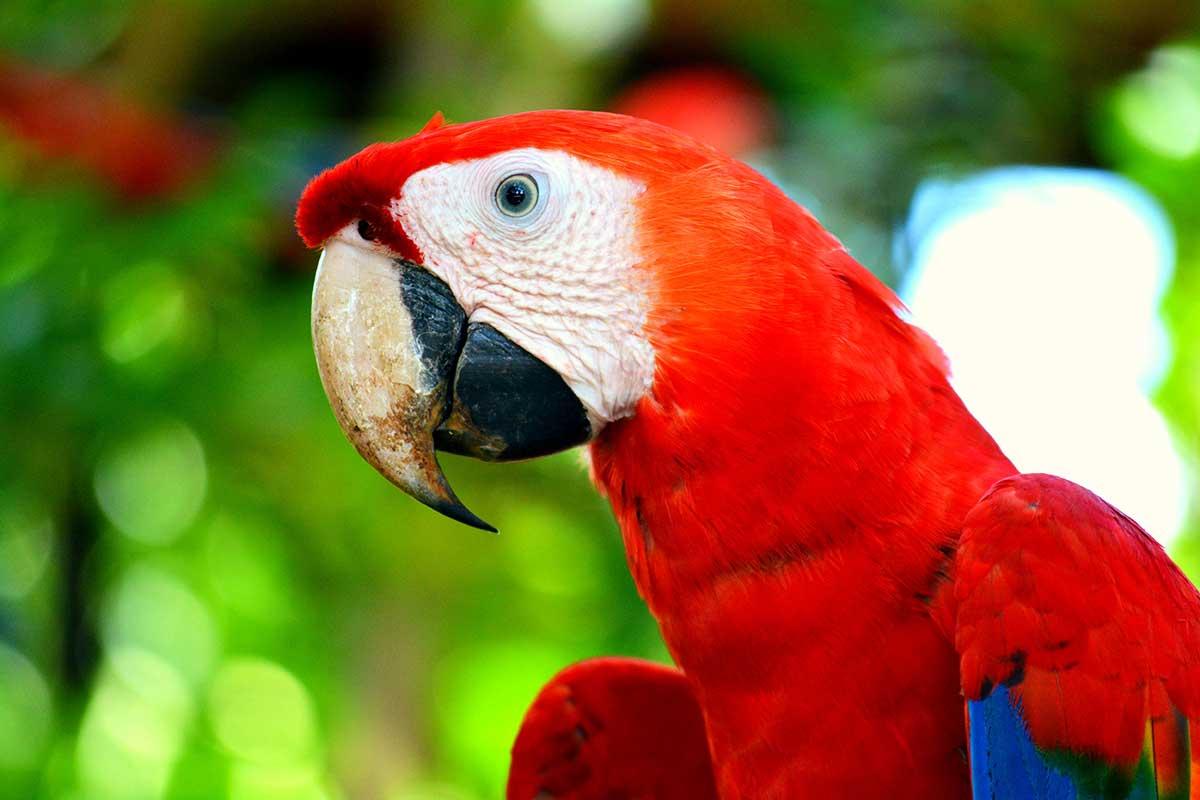 Красный попугай. Корковадо