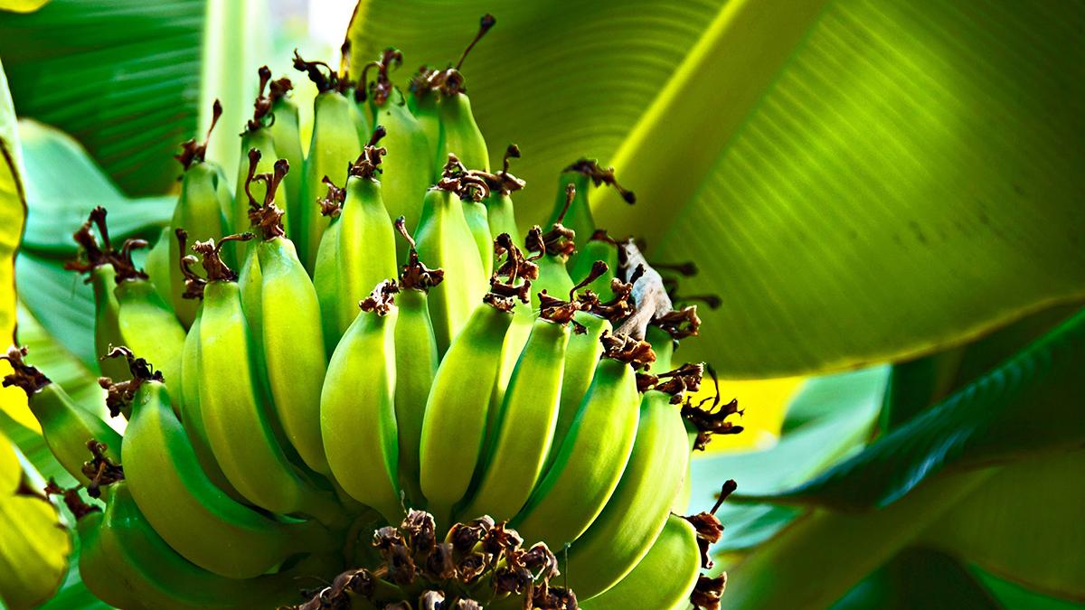 Коста-Рика. Банановая ферма