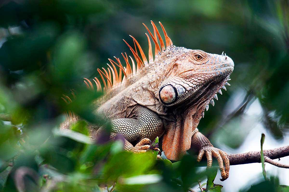 Игуана. Животный мир Коста-Рики