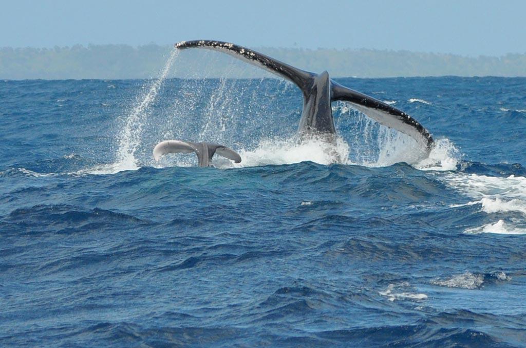 Остров Святой Марии. Горбатые киты