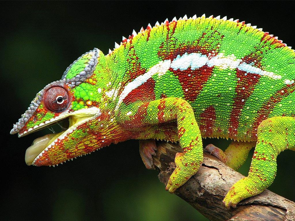 Геккон. Мадагаскар