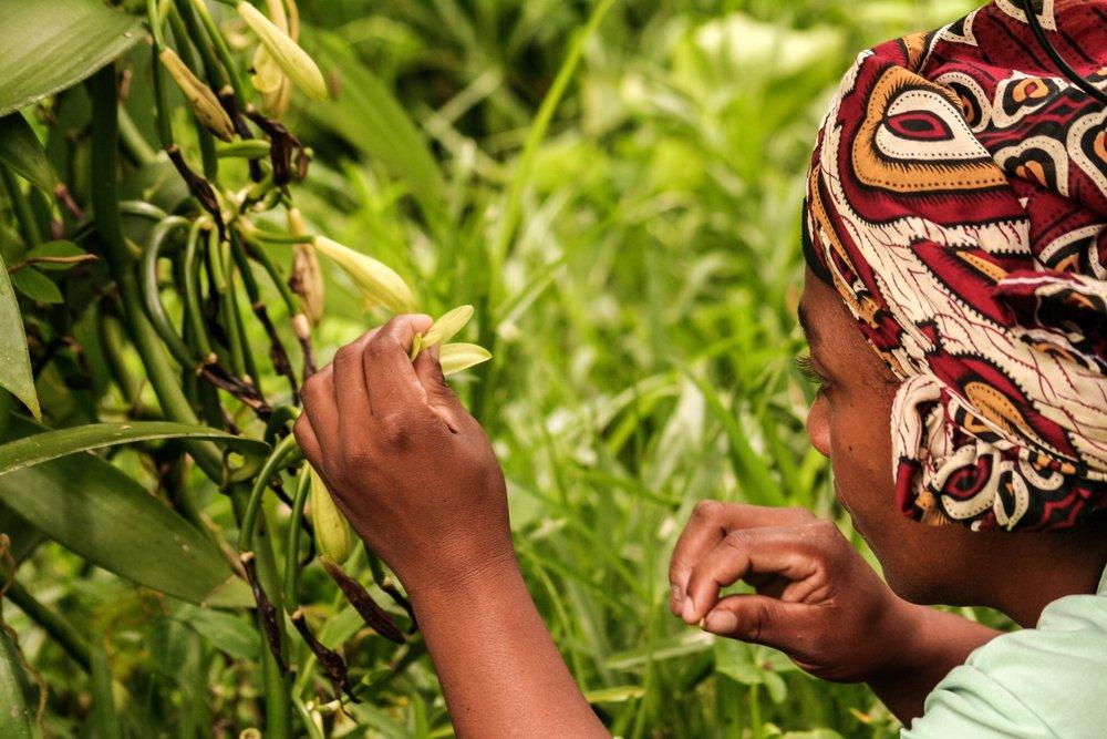 Плантации ванили на Мадагаскаре