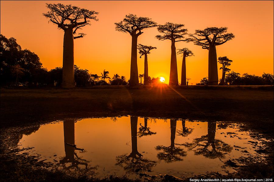 Мадагаскар. Баобабы