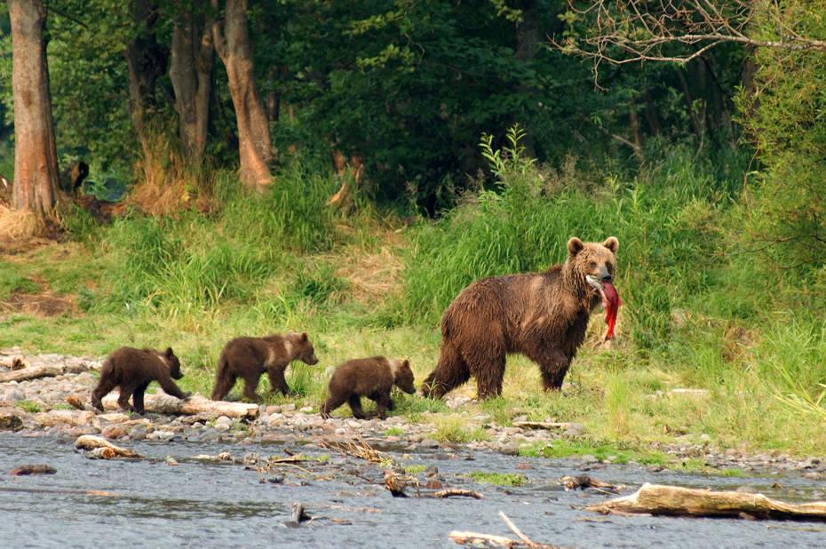 Медведи. Камчатка