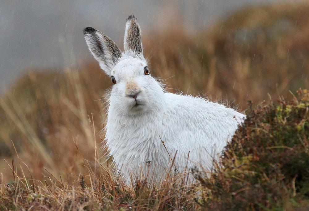 Картинки зайцы белякин