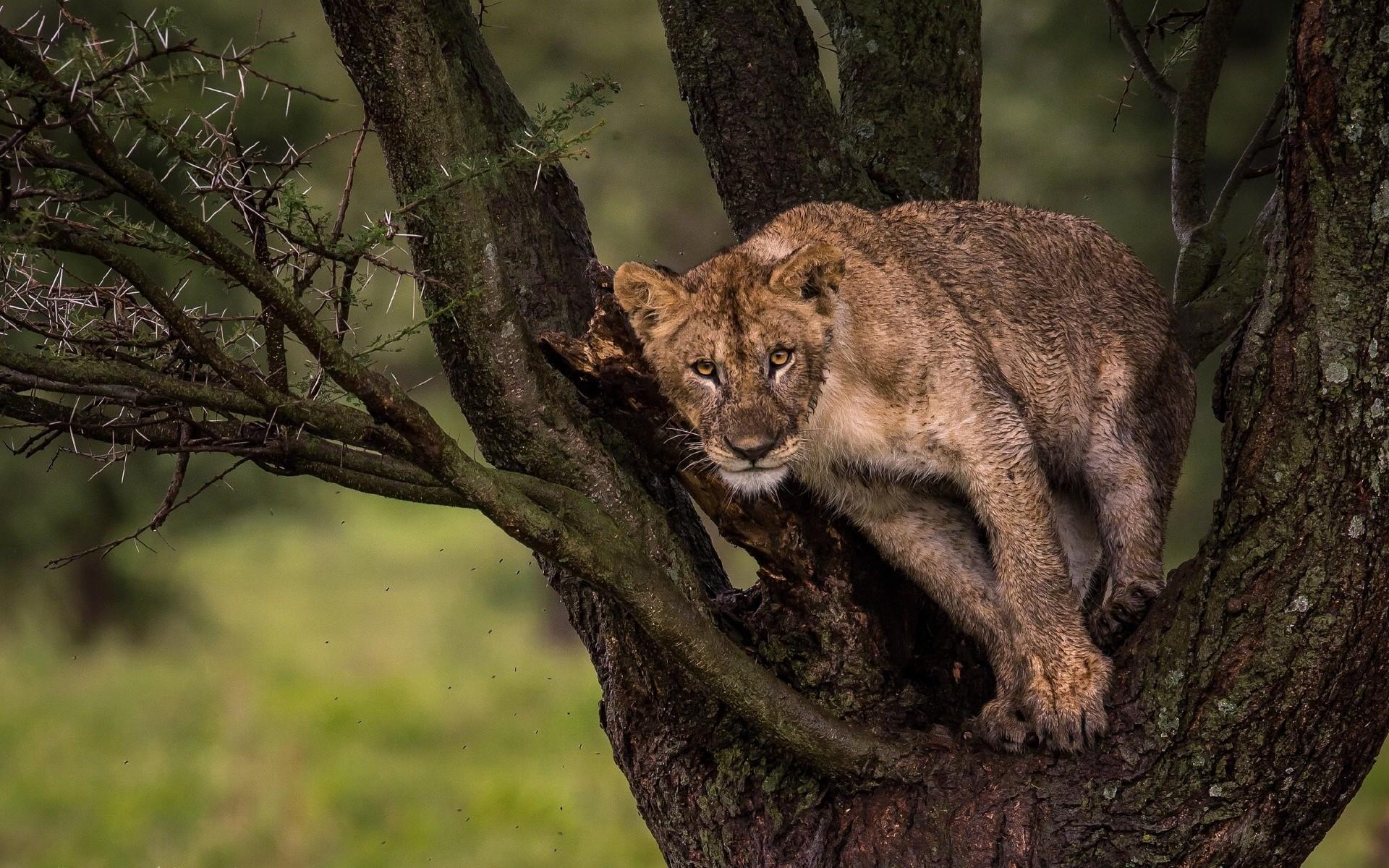Лев на окации