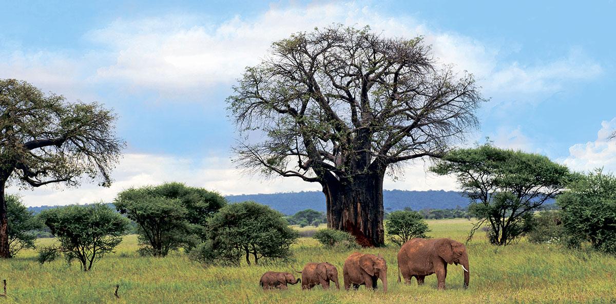 Парк Тарангире. Слоны