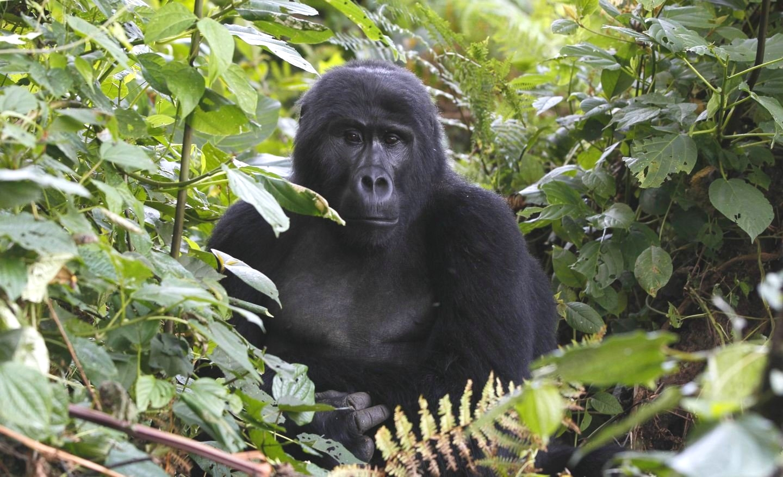 В поисках горилл
