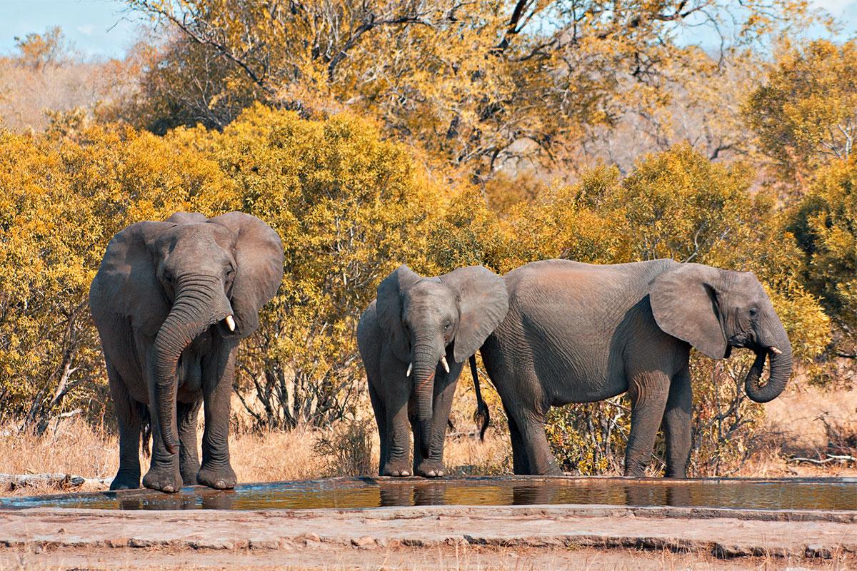 Парк Крюгера. Слоны