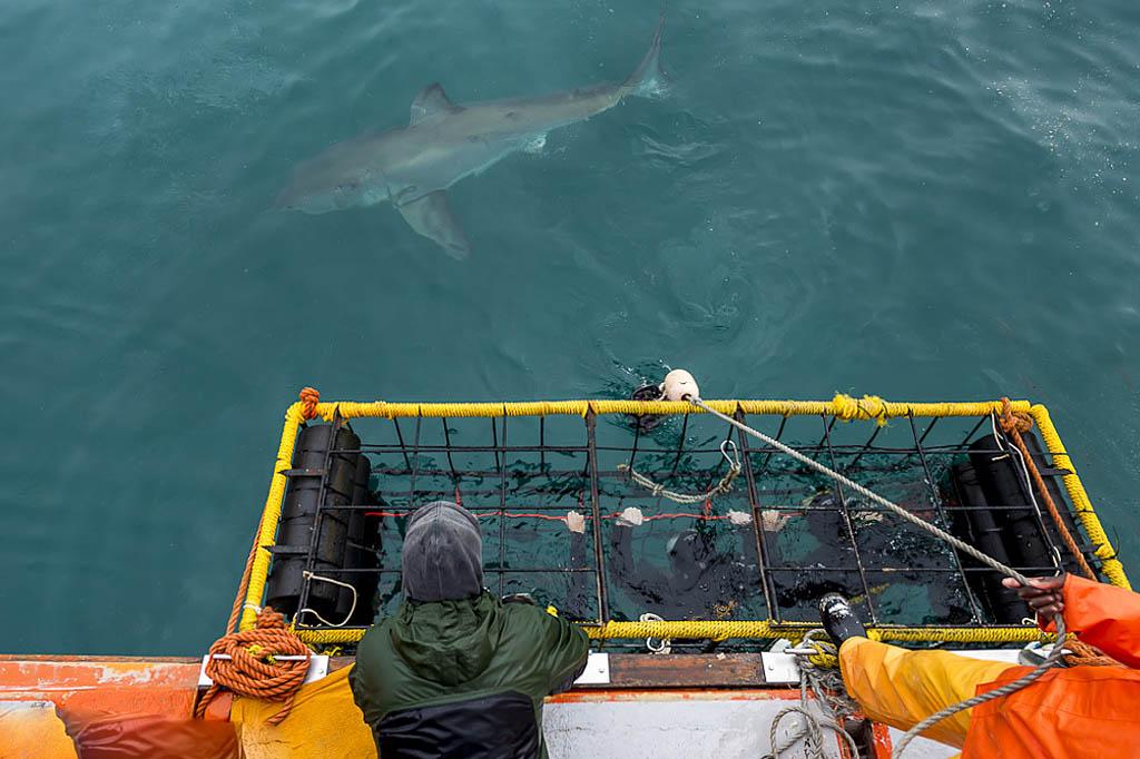 Наблюдение за большой белой акулой