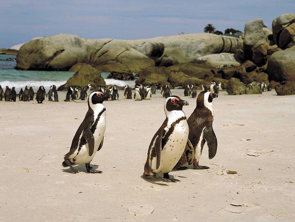 Пингвины. ЮАР