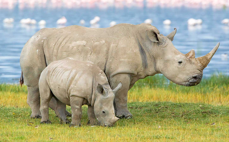 Белый носорог. Парк Зиво