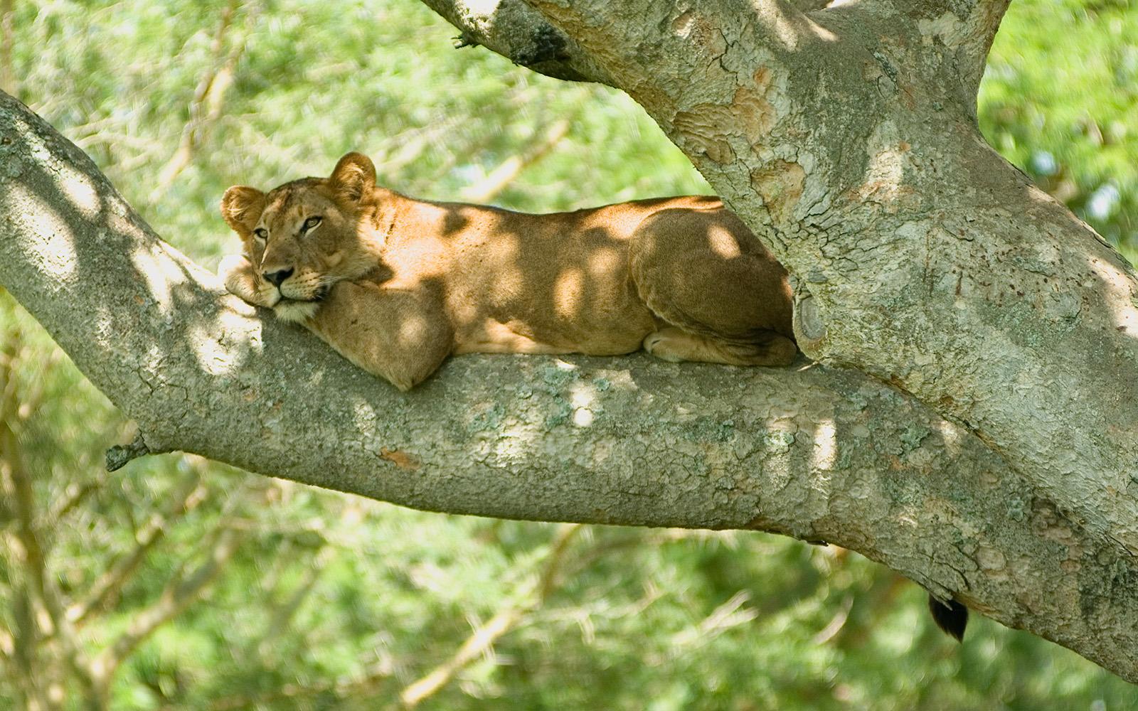 Лев древолаз, Уганда